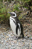 Magellanic penguin stock photography