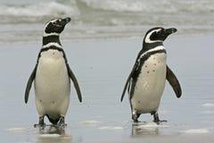 Magellanic penguin, Spheniscus magellanicus. Two birds on beach, Falklands Royalty Free Stock Photos