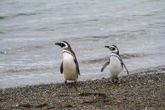Magellanic penguin, Spheniscus magellanicus, walking on rocky gr. Avel beach in Isla Martillo, Ushuaia, Patagonia. Argentina Stock Image