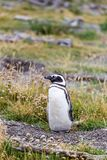 Magellanic penguin, Spheniscus magellanicus, walking on rocky gr. Avel beach in Isla Martillo, Ushuaia, Patagonia. Argentina Royalty Free Stock Photo