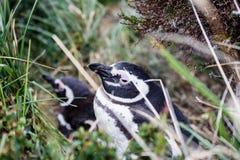 Magellanic penguin, Spheniscus magellanicus, walking on rocky gr. Avel beach in Isla Martillo, Ushuaia, Patagonia. Argentina Stock Images