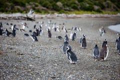 Magellanic penguin, Spheniscus magellanicus, walking on rocky gr. Avel beach in Isla Martillo, Ushuaia, Patagonia. Argentina Stock Photography