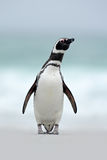Magellanic penguin, Spheniscus magellanicus, on the white sand beach, ocean wave in the background, Falkland Islands Royalty Free Stock Images