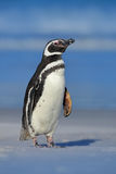 Magellanic penguin, Spheniscus magellanicus, on the white sand beach, ocean wave in the background, Falkland Islands. Penguin in A Stock Photo