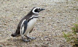 Magellanic penguin standing stock image
