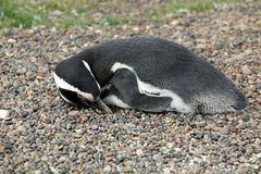 Magellanic penguin sunbathing Stock Images
