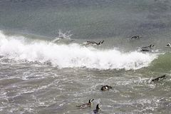 Magellanic Penguin swimming and surfing in Ocean. Punta Tombo reserve, Argentina Royalty Free Stock Photo