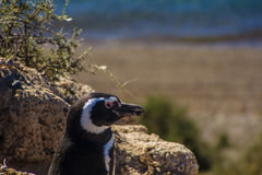 Magellanic Penguin Royalty Free Stock Photography
