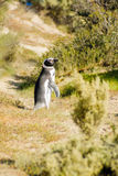 Magellanic Penguin, Valdes Stock Photography