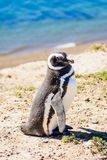 Magellanic Penguin, Valdes Royalty Free Stock Images