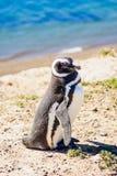 Magellanic Penguin, Valdes Royalty Free Stock Images