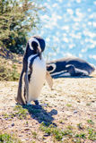 Magellanic Penguin, Valdes Stock Photo