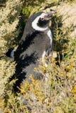 Magellanic Penguin, Valdes Royalty Free Stock Photography