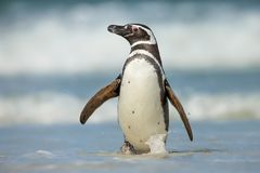 Magellanic penguin walking on a coast on a windy day. In Falkland islands Stock Images