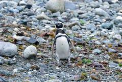 Magellanic penguin walking in Magdalena island, Chile Royalty Free Stock Photo