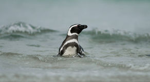 Magellanic Penguin in the Waves Stock Image