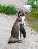 Magellanic penguin Royalty Free Stock Photos