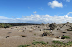 Magellanic penguins μερών που σκάβουν το λαγούμι Στοκ Εικόνες