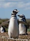 Magellanic penguins στην αποικία Κινηματογράφηση σε πρώτο πλάνο Αργεντινοί Χερσόνησος Valdes Στοκ Φωτογραφίες