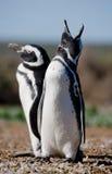 Magellanic penguins στην αποικία Κινηματογράφηση σε πρώτο πλάνο Αργεντινοί Χερσόνησος Valdes Στοκ εικόνα με δικαίωμα ελεύθερης χρήσης