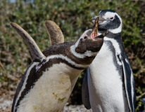 Magellanic penguins στην αποικία Κινηματογράφηση σε πρώτο πλάνο Αργεντινοί Χερσόνησος Valdes Στοκ Εικόνες