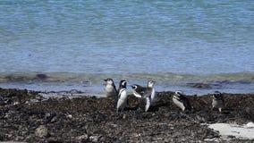 Magellanic Penguins στην παραλία φιλμ μικρού μήκους