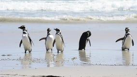 Magellanic Penguins στην παραλία απόθεμα βίντεο