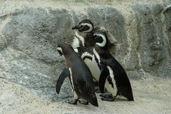 Magellanic penguins. Warm weather penguins at the San Francisco Zoo Royalty Free Stock Photo