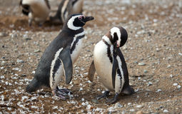 Magellanic penguins Stock Photography