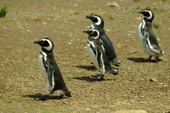 Magellanic penguins Royalty Free Stock Photo