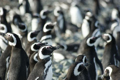 Magellanic penguins Royalty Free Stock Photos
