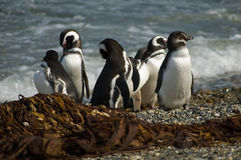 Magellanic penguins Royalty Free Stock Images