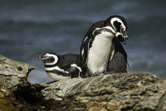 Magellanic penguins Stock Image