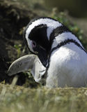 Magellanic penguins Royalty Free Stock Photography