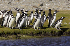 Magellanic Penguins. Flock of magellanic penguins standing on green grass in front of pond George Island Falklands Royalty Free Stock Image