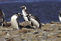 Magellanic Penguins. Three magellanic penguins on rocky shore with blue ocean as background George Island Falklands Royalty Free Stock Image