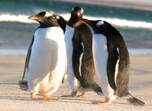 magellanic penguins Στοκ Φωτογραφίες