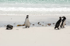 Magellanic Penguins on the beach Stock Photo
