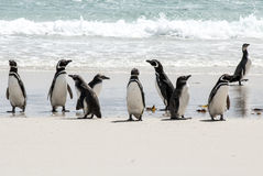 Magellanic Penguins on the beach Stock Images