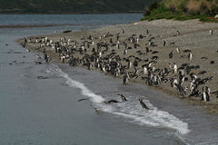 Magellanic penguins, Beagle Channel, Argentina Stock Image
