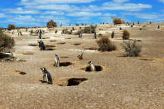 Magellanic Penguins. Colony of Magellanic Penguins at Punta Tombo, Argentina, South America Royalty Free Stock Photography