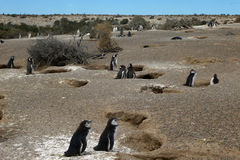 Magellanic Penguins. Colony of Magellanic Penguins at Punta Tombo, Argentina, South America Stock Image