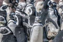 Magellanic penguins Stock Photos