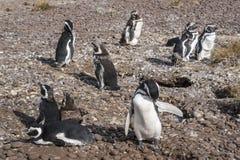 Magellanic Penguins, early morning at Punto Tombo. Magellanic Penguins at Natural protected area Punta Tombo, Chubut, Patagonia, Argentina Royalty Free Stock Images