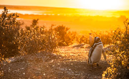 Magellanic Penguins Stock Images