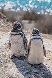 Magellanic penguins guarding their nest, peninsula Valdes, Patag Royalty Free Stock Photography