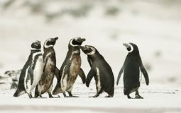 Magellanic penguins heading out to sea for fishing. On a sandy beach in Falkland islands Royalty Free Stock Photography