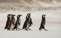 Magellanic penguins heading out to sea for fishing on a sandy be Royalty Free Stock Photo