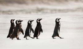 Magellanic penguins heading out to sea for fishing stock photo