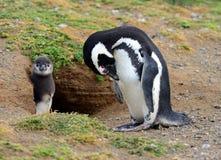Magellanic Penguins Stock Images
